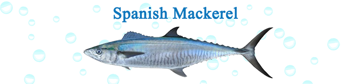 spanish-mackerel