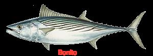 atlantic-bonito-300x110