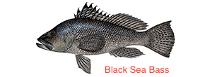 black-sea-bass-300x110