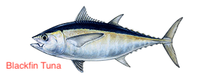 blackfin-tuna-300x110