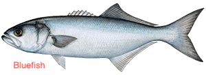 bluefish-300x110