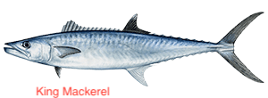 king-mackerel-300x110 copy
