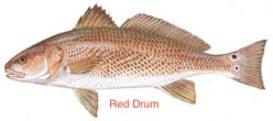 reddrum-1 copy