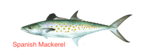 spanish-mackerel-464x170