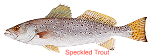 spotted-seatrout-300x110