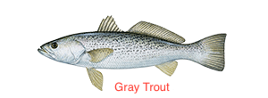 weakfish-300x110