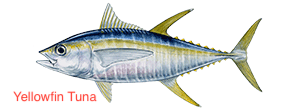 yellowfin-tuna-300x110