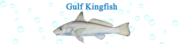 gulf-kingfish